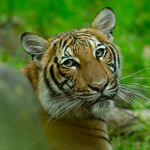 Tiger At New York's Bronx Zoo Tests Positive For Coronavirus After Contact With