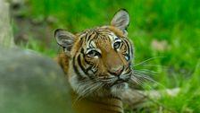 Τίγρη Στο Ζωολογικό Κήπο Του Μπρονξ Θετικό Για Coronavirus Μετά Την Επαφή Με Τον Εργαζόμενο
