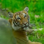 뉴욕 동물원 호랑이가 코로나19 양성 판정을