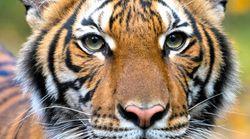 トラが新型コロナに感染。ニューヨークの動物園