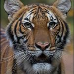 Τίγρης θετική στον κορονοϊό βρέθηκε στον Ζωολογικό κήπο του