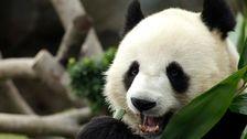 Pandas Voll Nutzen Gesperrt Zoo, Endlich Sex Haben