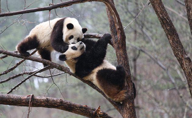 Lo zoo è chiuso per coronavirus: i due panda si accoppiano, dopo 10 anni di