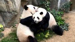 홍콩 사는 판다 두 마리가 10년 만에 짝짓기에 성공한