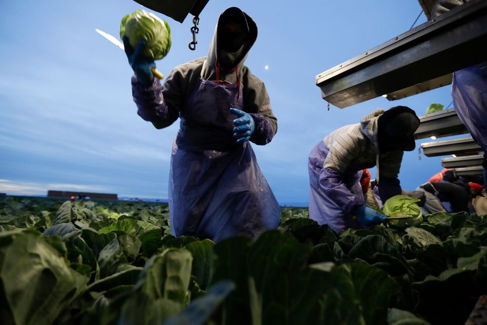 Farmworkers pick cabbage before dawn in a field outside of Calexico, California, in March
