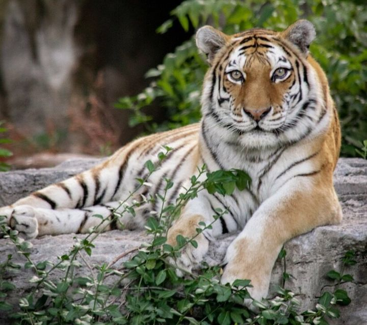 A female Amur tiger at the zoo where the author works. It's estimated that only 350-450 Amur tigers survive in the wild.