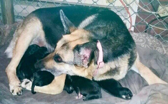 Keisha nurses her 12 pups in early April 2020 near Collingwood, Ont. The Georgian Triangle Humane Society delivered food to her owner James Rutters during the COVID-19 pandemic.