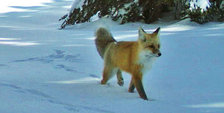 A Sierra Nevada red fox walks by a wildlife camera in Yosemite National Park in 2014.
