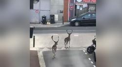 Deux daims s'offrent une promenade dans les rues désertes de