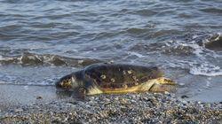 Βίντεο: Βούτηξε στη θάλασσα και έσωσε μία τεράστια χελώνα στην