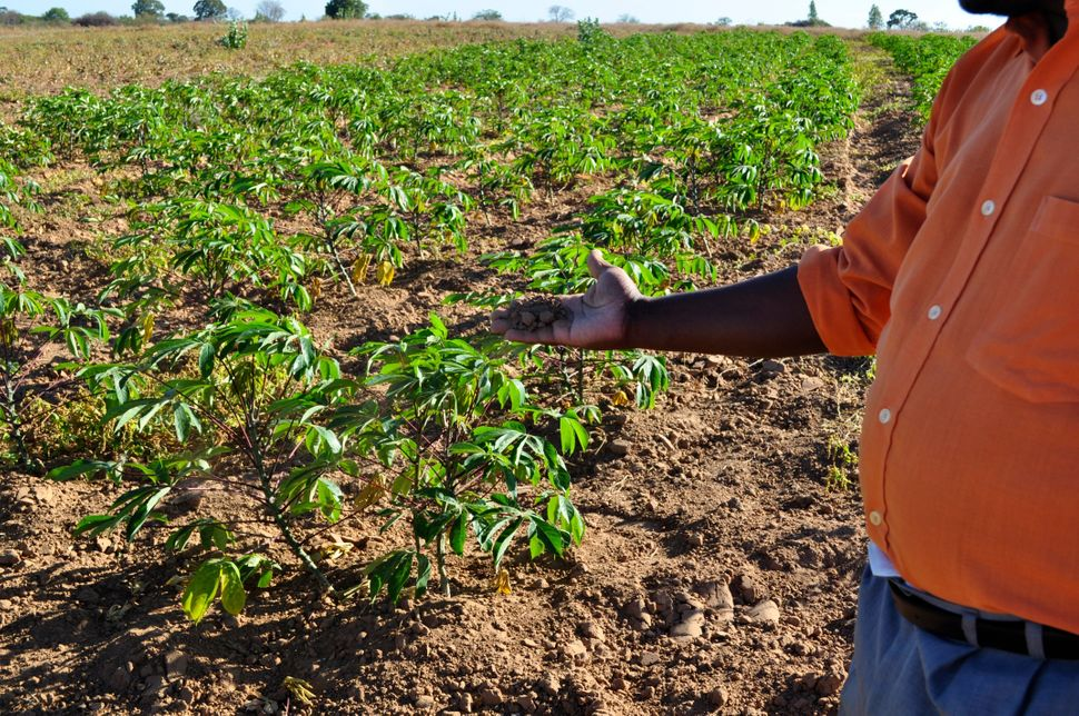 <em>Almir Viera Pereira holds a handful of dry soil on a patch of disputed land his group has claimed under Brazil's constitu