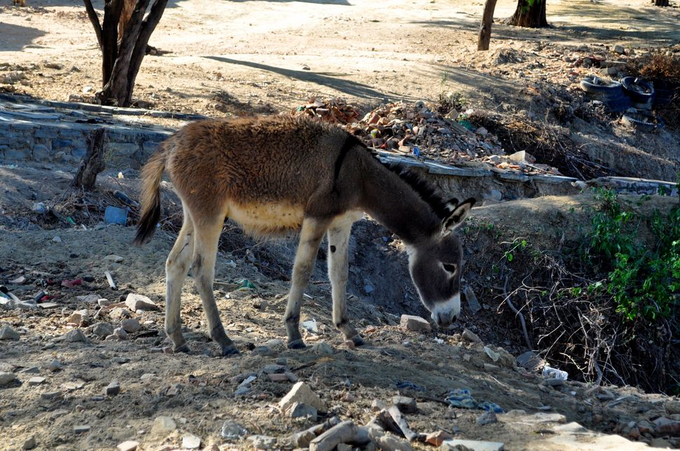 <em>A donkey feeds on garbage tossed along the roads of Barra do Parateca, which lacks regular trash collection. (Carolina Ra
