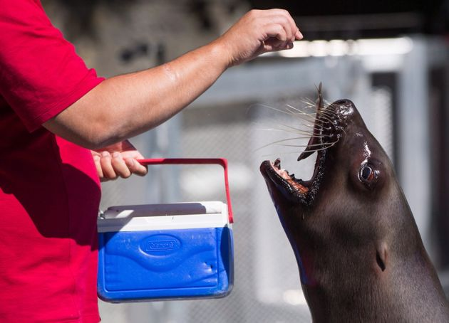 A sea lion is fed a fish by marine mammal trainer Billy Lasby during a demonstration at the Vancouver...