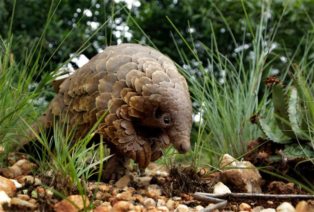 Pangolins are said to be the most illegally trafficked mammal on