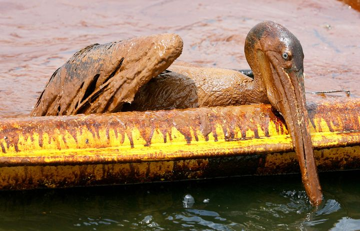 An oil-covered brown pelican tries to climb over an oil containment boom near Grand Isle, Louisiana on June 5, 2010.