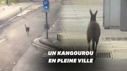 Ce kangourou profite des rues désertes d'Adélaïde pour se