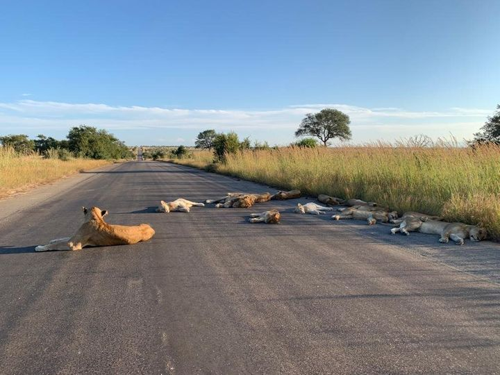 Lions laying on a road in Kruger National Park.