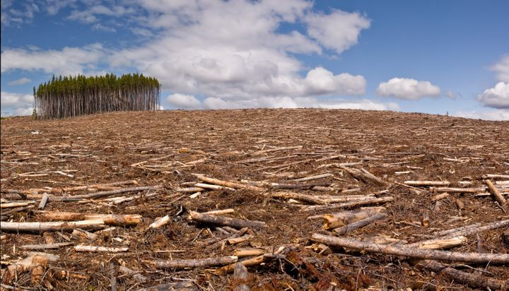 A small island of trees in a clear-cut pine forest. Dramatic changes in land use have contributed to the rise of zoonotic diseases.