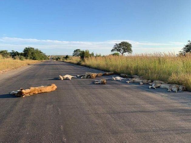 クルーガー国立公園の路上で横たわるライオンたち