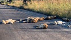 ライオンの群れ、道路で昼寝して気持ちよさそう。人間のいない国立公園を満喫