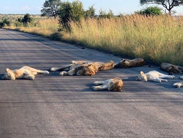 国立公園内の路上で横たわるライオンたち