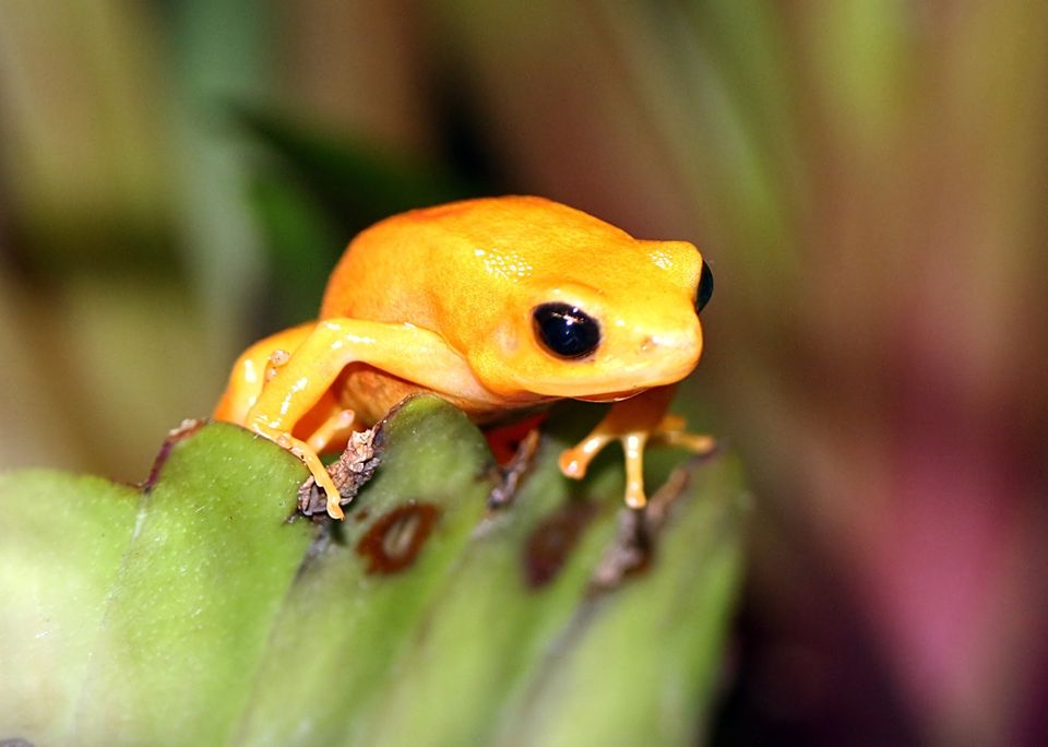 A poisonous, critically endangered golden mantella frog in the rainforest of Madagascar. Habitat loss...