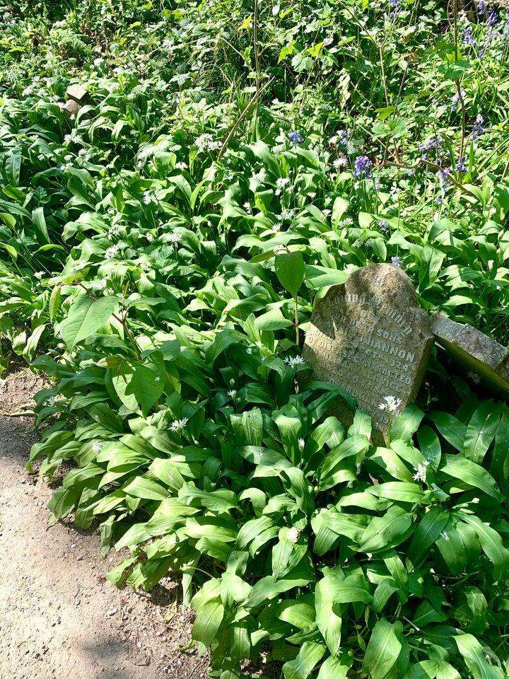Wild Garlic foraging in cemetery park.