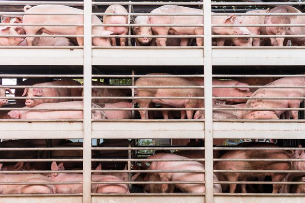 plenty pigs during transport by