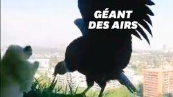 Ces condors s'aventurent en ville et traumatisent des