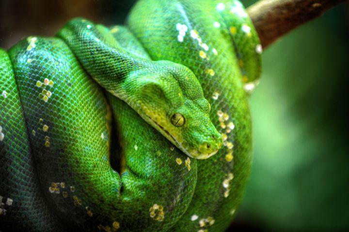 A green tree python. Eek!