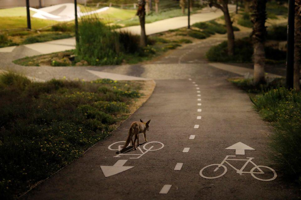 Αλεπού σε ποδηλατόδρομο,...