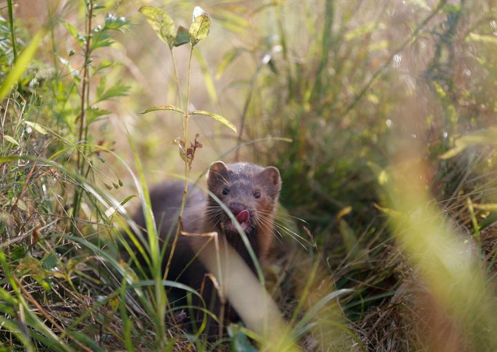 Minks are small, carnivorous mammals in the same family as weasels, otters and ferrets.