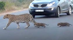 ヒョウのお母さん、幼い我が子に道路の渡り方を教える。だけど子ヒョウ、途中で腰を抜かしてしまい…