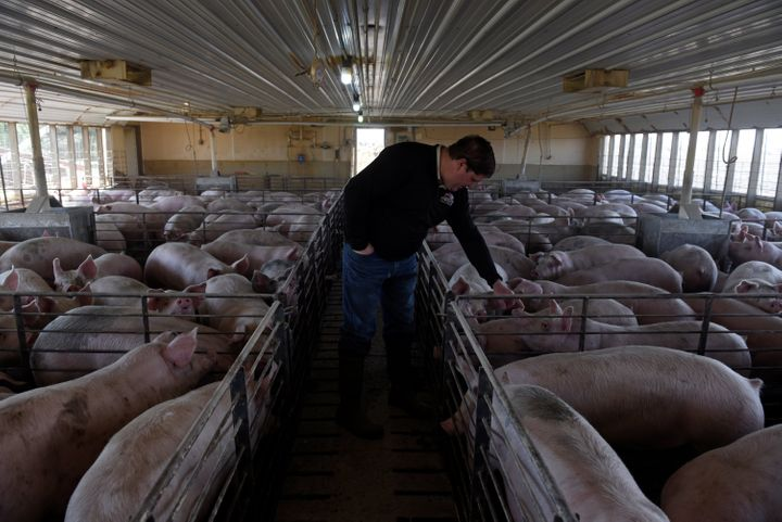 Hog farmer Mike Patterson, who has put his animals on a diet so they take longer to fatten up due to the supply chain disrupt
