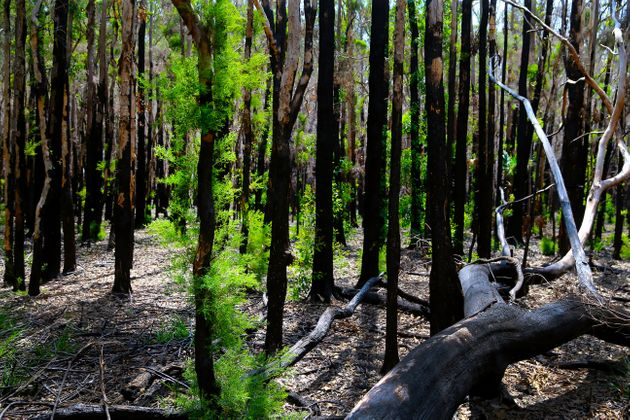 New growth is seen in bush in Port Macquarie, the local tourism authority said regeneration of the bushland happened earlier than expected, which was welcome news for wildlife and for when tourists are eventually make a return to the area.   (Photo by Nathan Edwards/Getty Images)