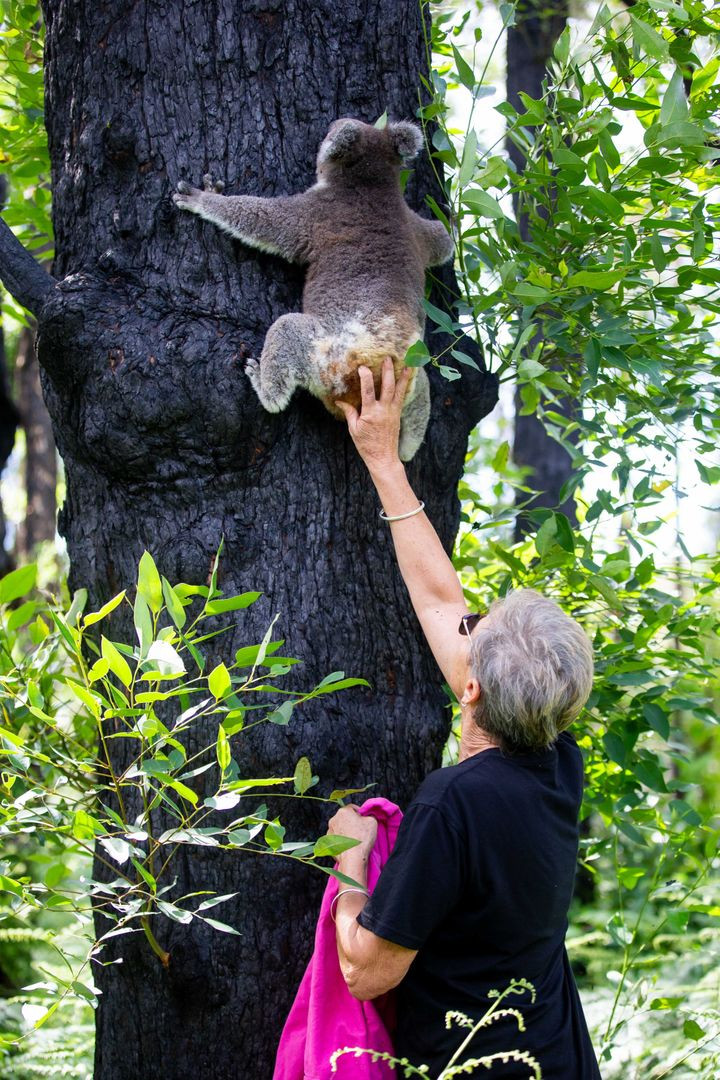 Anwen is one of 26 koalas released last month after their original habitat recovered from bushfire damage earlier than expected due to heavy rainfall in the area. Port Macquarie Koala Hospital, the facility that cared for the koalas, went viral after volunteers worked around the clock to help save bushfire-affected koalas. When travel restrictions lift, Port Macquarie Koala Hospital will be open to visitors again.