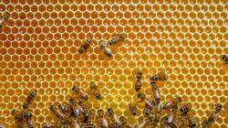 Le confinement a-t-il vraiment rendu les abeilles plus