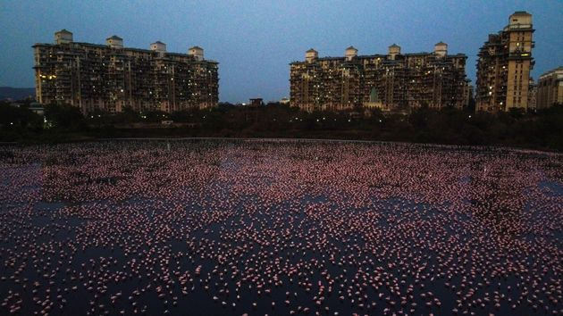 The Bombay Natural History Society estimates that about 150,000 flamingos have migrated to Mumbai, India,...
