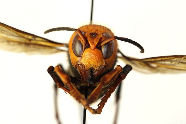 "The Asian giant hornet, which has earned the nickname ""murder hornet"" from some researchers, has a powerful, painful sting an"