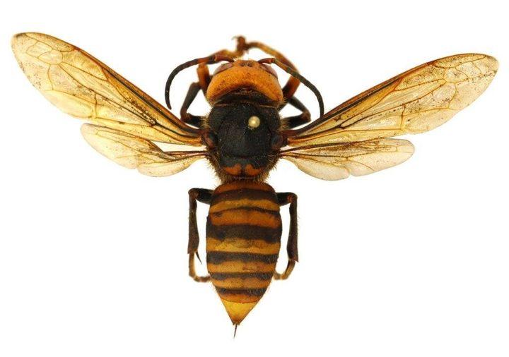A dead Asian giant hornet.