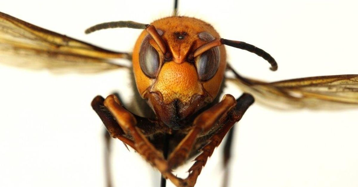 Watch Out For Murder Hornets In Canada Because 2020 Just Keeps On Going