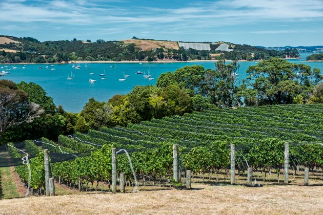 Waiheke Island vineyard and winery. The netting protects the vines from birds who eat and destroy the...