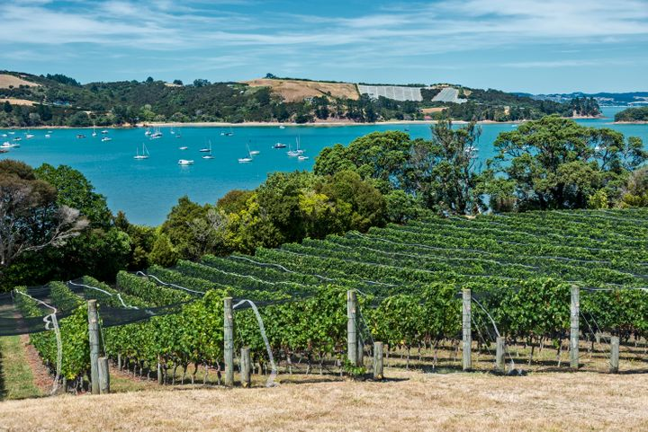 Waiheke Island vineyard and winery. The netting protects the vines from birds who eat and destroy the grapes. The vineyard overlooks a turquoise blue bay.