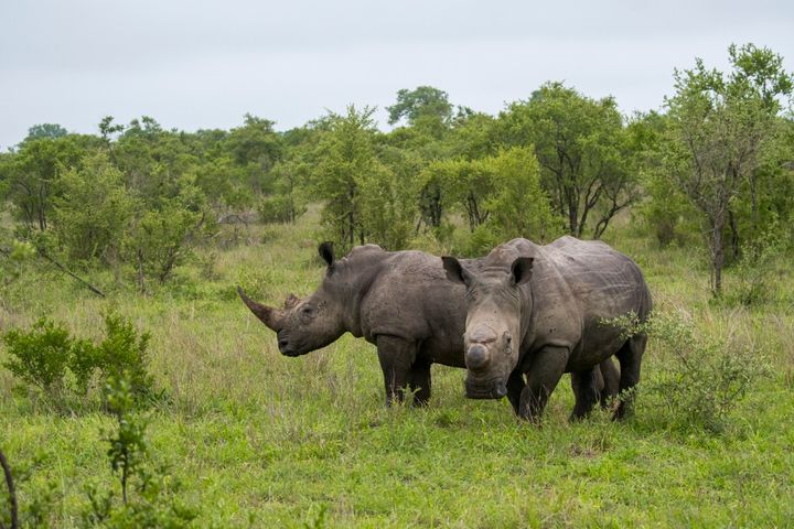 White rhinos in the Manyeleti Reserve in the Kruger Private Reserves area in South Africa.