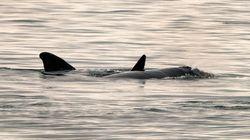 Deux baleines noires ont été aperçues dimanche dans le golfe du