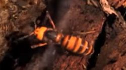 Watch Honey Bees Cleverly Kill A Murder