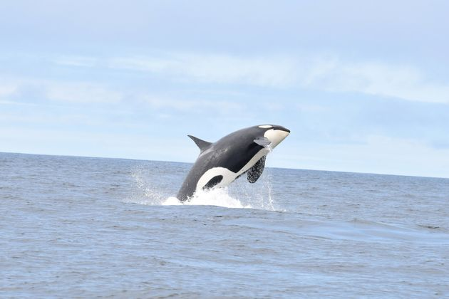 A Southern Resident killer whale swims off the southwest coast of Vancouver Island on June 30, 2019,...