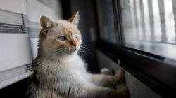 Detectan el primer caso de gato infectado por coronavirus en
