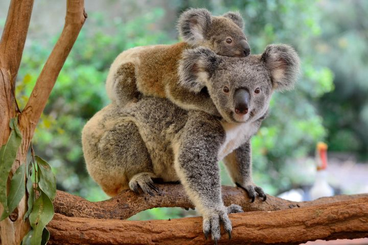 A mother koala with her baby on her back, on a eucalyptus tree.