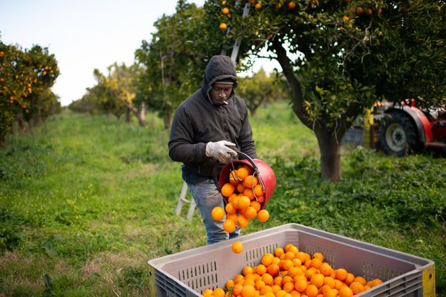 ROSARNO, CALABRIA, ITALY - 2020/02/06: A Senegalese migrant collects oranges on the plain of Rosarno...